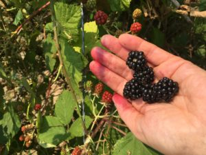 Blackberry picking, 2017